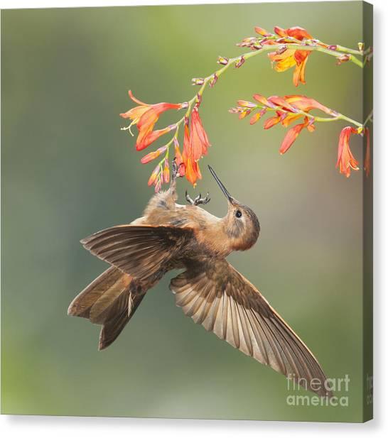Shining Sunbeam Hummingbird Canvas Print