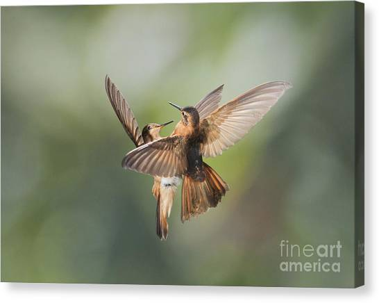 Shining Sunbeam Hummingbirds Canvas Print