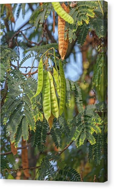 Mimosa Canvas Print - Silktree (albizia Julibrissin) by Dr. Nick Kurzenko