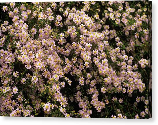 Sky Blue Aster Flowers Canvas Print by Anthony Cooper/science Photo Library