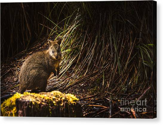St Clair Canvas Print - Small Marsupial Pademelon In Thick Tasmania Forest by Jorgo Photography - Wall Art Gallery