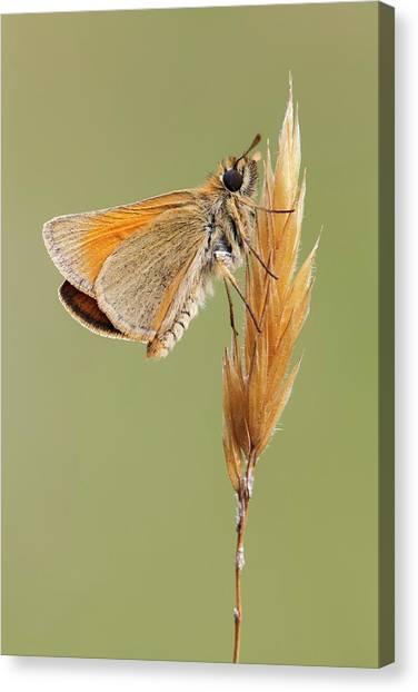 Small Skipper Butterfly Canvas Print by Heath Mcdonald