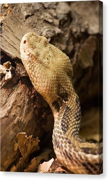 Timber Rattlesnakes Canvas Print - Snake by David Davis