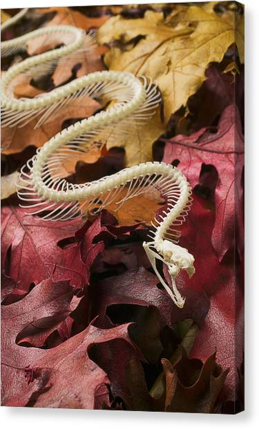 Poisonous Snakes Canvas Print - Snake Skeleton  by Garry Gay