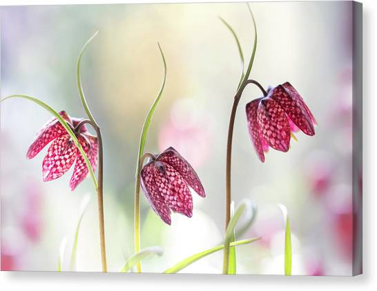 Checker Canvas Print - Snakes Head Fritillary by Mandy Disher