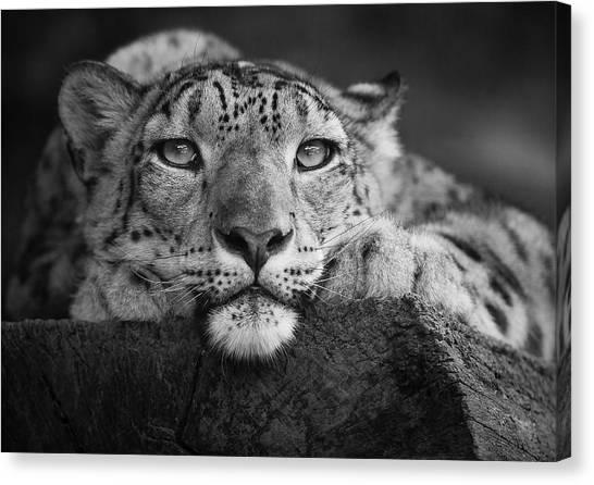 Zoo Canvas Print - Snow Leopard by David Williams