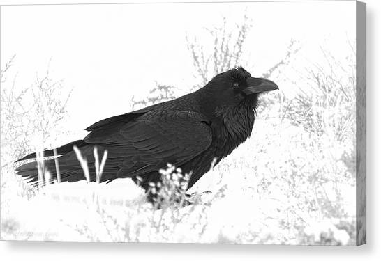 Snow Raven Canvas Print