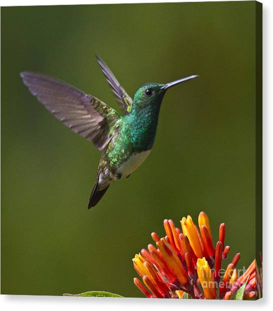 Tropical Birds Canvas Print - Snowy-bellied Hummingbird by Heiko Koehrer-Wagner
