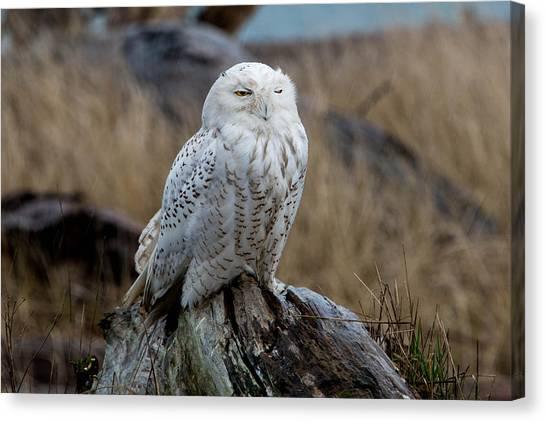 Snowy Owl Canvas Print by David Yack