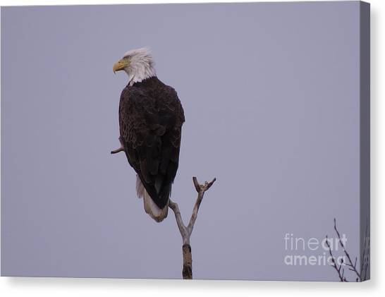 Solo  Bald Eagle Canvas Print