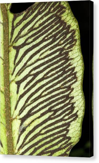 Ecuadorian Canvas Print - Sori On The Underside Of A Fern Leaf by Dr Morley Read