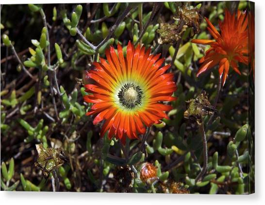 South African Flowers Canvas Print by Dr P. Marazzi/science Photo Library