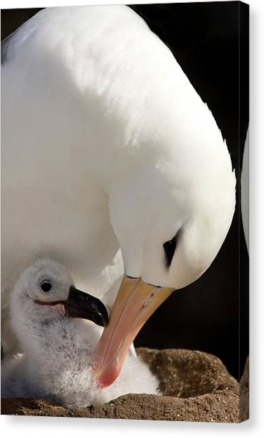 Albatrosses Canvas Print - South Atlantic, Falkland Islands, New by Jaynes Gallery