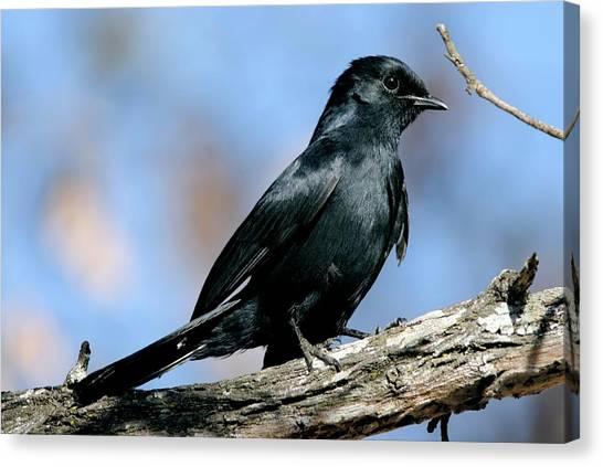 Flycatchers Canvas Print - Southern Black Flycatcher by Peter Chadwick/science Photo Library