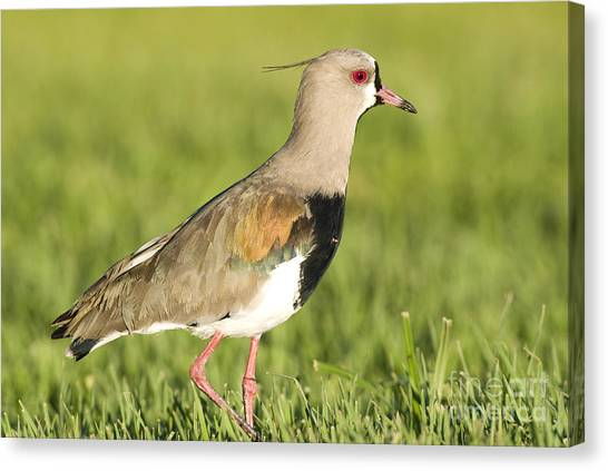 Lapwing Canvas Print - Southern Lapwing by William H. Mullins