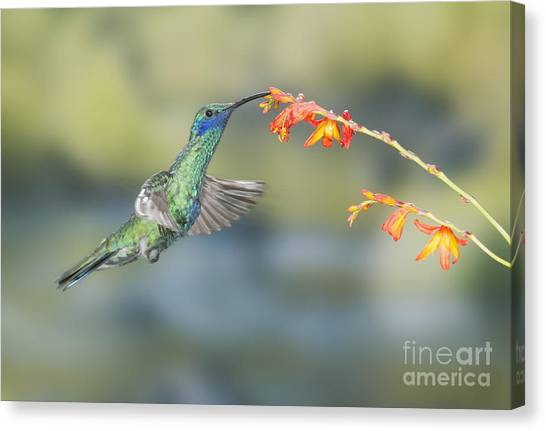 Sparkling Violet-ear Hummingbird Canvas Print