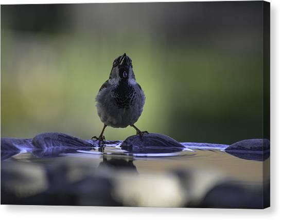 sparrow-BB-drip Canvas Print