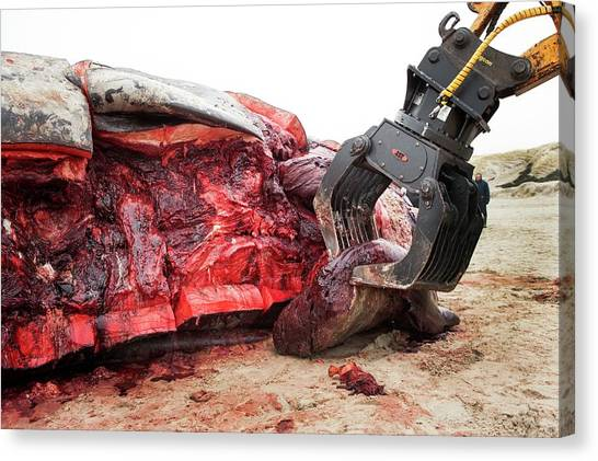 Backhoes Canvas Print - Sperm Whale Dissection by Thomas Fredberg
