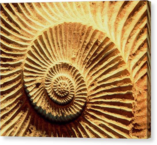 Sahara Desert Canvas Print - Spiral Shape Of A Fossilised Ammonite Shell by Martin Bond/science Photo Library