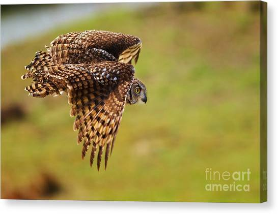 Spotted Eagle Owl In Flight Canvas Print