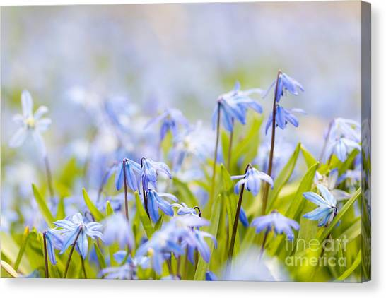 Early Spring Canvas Print - Spring Blue Flowers  by Elena Elisseeva