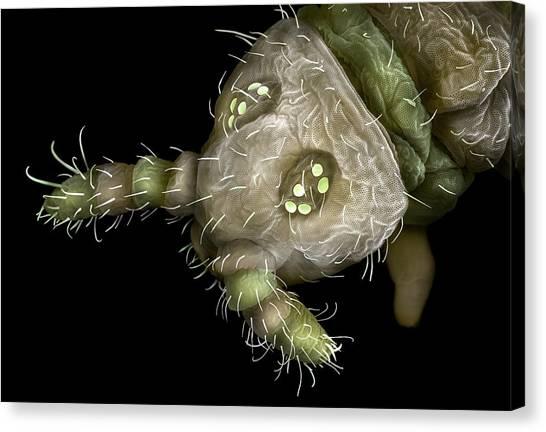 Springtail Head Canvas Print by Alex Hyde