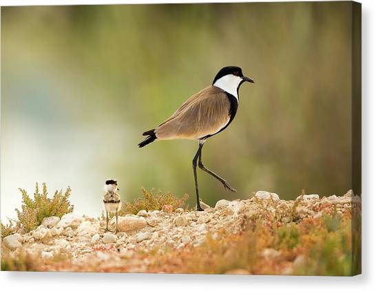 Lapwing Canvas Print - Spur-winged Lapwing Vanellus Spinosus by Photostock-israel