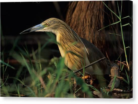 Okavango Swamp Canvas Print - Squacco Heron by Nigel Dennis