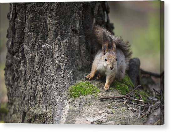 Squirrel Canvas Print by Ira Gorod