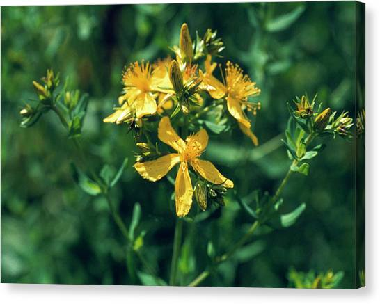 St John's Wort Flowers Canvas Print by Th Foto-werbung/science Photo Library