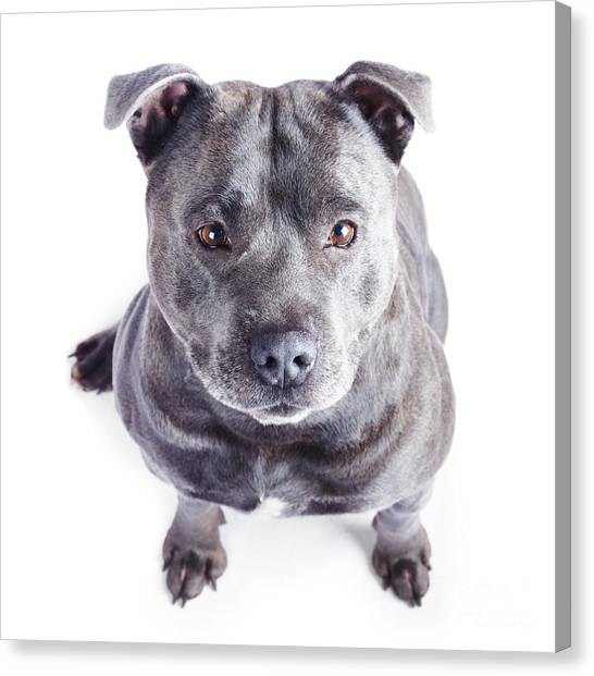 English Bull Dogs Canvas Print - Staffordshire Bull Terrier by Jorgo Photography - Wall Art Gallery