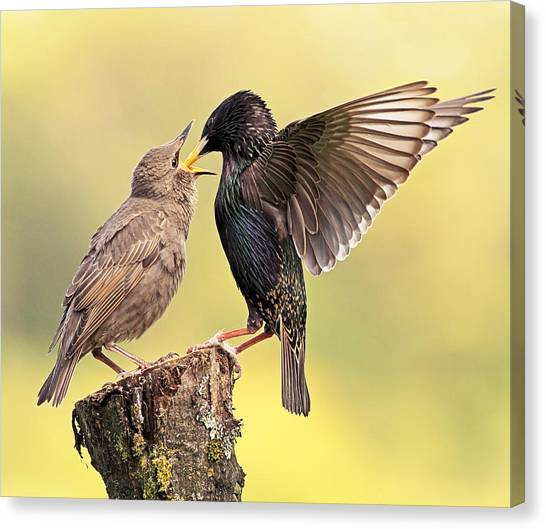 Starlings Canvas Print - Starlings by Grant Glendinning