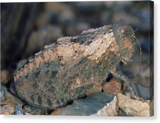 Grasshoppers Canvas Print - Stone Mimic Grasshopper by Sinclair Stammers/science Photo Library