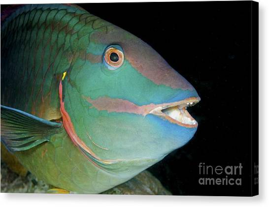 Parrot Fish Canvas Print - Stoplight Parrotfish by Clay Coleman