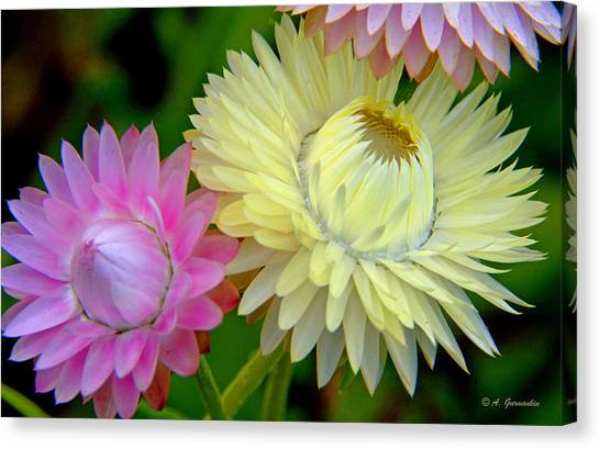 Strawflower Blossoms Canvas Print