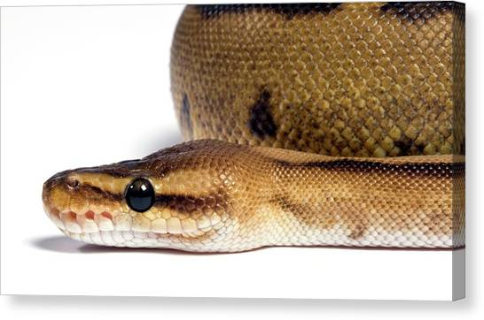 Pythons Canvas Print - Striped Royal Python by Pascal Goetgheluck/science Photo Library
