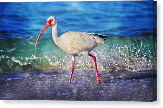 Ibis Canvas Print - Strolling by Betsy Knapp