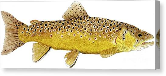Study Of A Brown Trout Canvas Print
