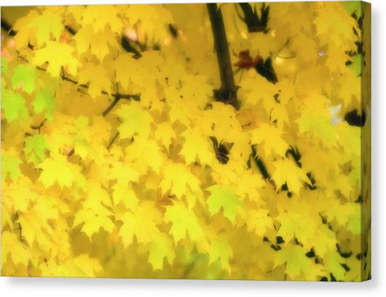 Sugar Maple (acer Saccharum) Canvas Print by Maria Mosolova/science Photo Library