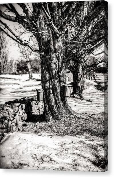 Sugaring Season Canvas Print