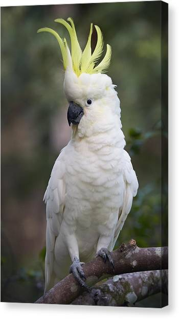 Martin Canvas Print - Sulphur-crested Cockatoo Displaying by Martin Willis