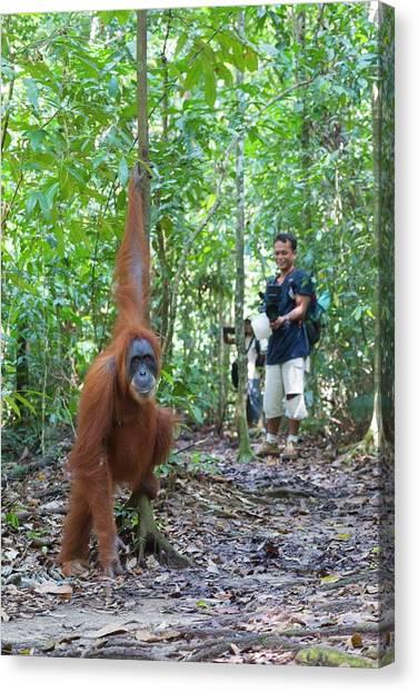 Orangutans Canvas Print - Sumatran Orangutan by Scubazoo