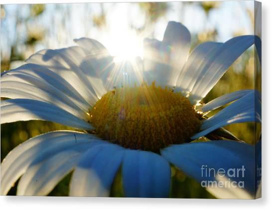 Sun Flower Canvas Print by Kandids By Katy