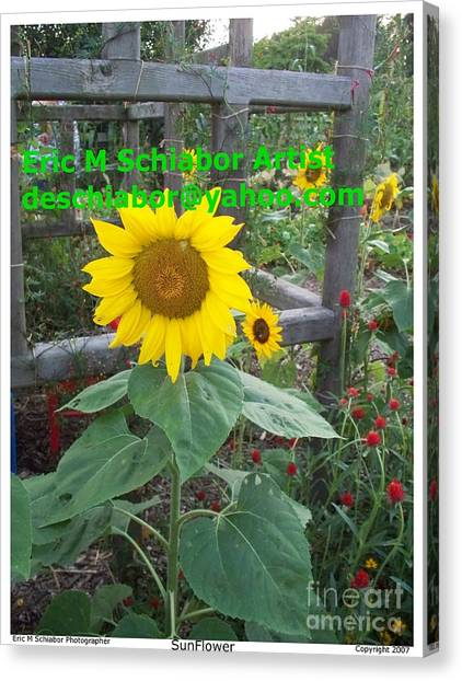 Sun Belt Canvas Print - Sunflower by Eric  Schiabor