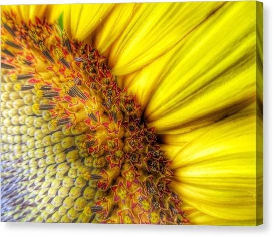 Sunflower Seeds Canvas Print - Sunrise by Marianna Mills