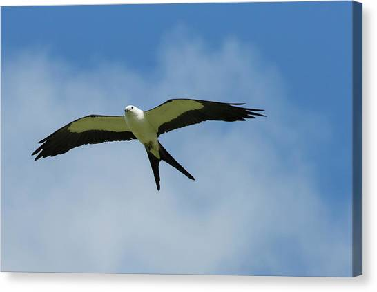 Swallows Canvas Print - Swallow-tailed Kite In Flight by Maresa Pryor