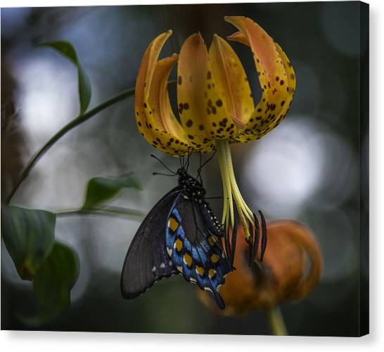 Swallowtail On Turks Cap Canvas Print