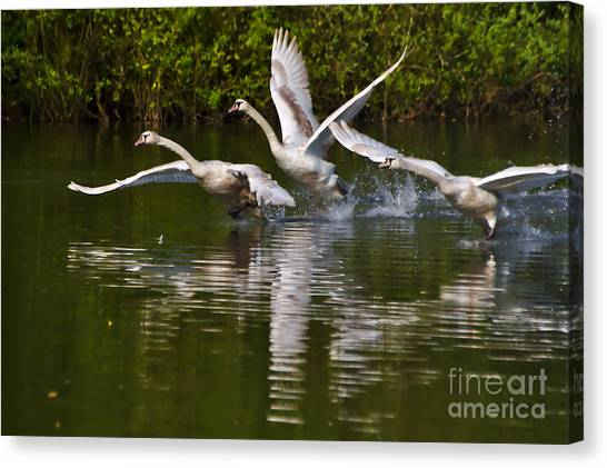 Photograph - Swan Take-off by Jeremy Hayden