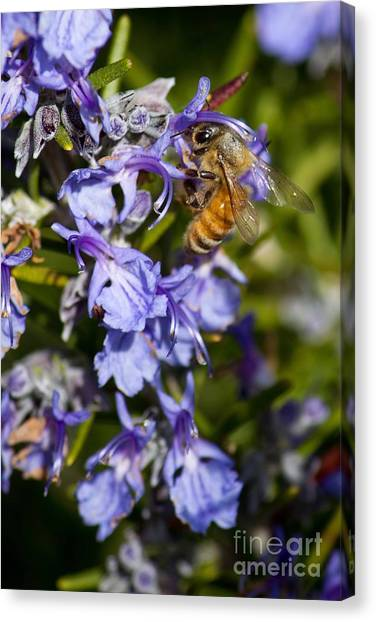 Sweet Rosemary Canvas Print