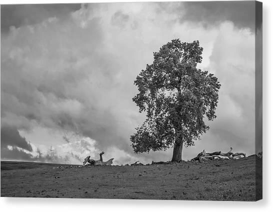 Table Mountain Oak Tree Canvas Print